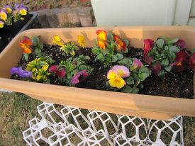 種まきから育てる 虹色スミレ 2月28日 プランタに寄せ植え