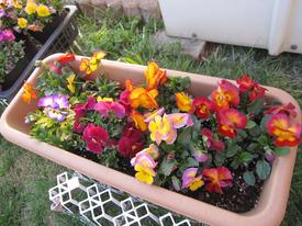 種まきから育てる 虹色スミレ 3月17日 広がってきました。