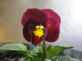 種まきから育てる 虹色スミレ 第一号開花しました。