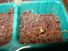 初めてのノースポール種まき。 発芽した✨