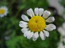 初めてのノースポール種まき。 花が咲きました✿