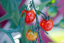 ミニトマトの袋栽培 毎日食べました。