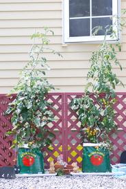ミニトマトの袋栽培