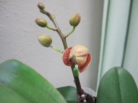 母の日ギフト 胡蝶蘭 影武者栽培日記 ついに開花が始まりました。