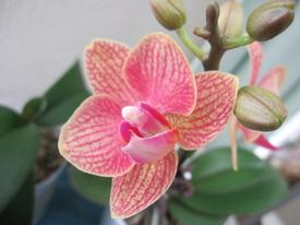 母の日ギフト 胡蝶蘭 影武者栽培日記 二つ目も開花開始