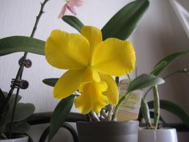 母の日ギフト 胡蝶蘭 影武者栽培日記 カトレアが咲きました。