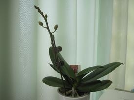 母の日ギフト 胡蝶蘭 影武者栽培日記 クリップで留めました