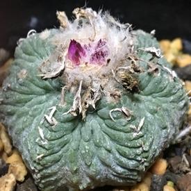 絶滅危惧種 アズテキウム属 花籠 ついに蕾(つぼみ)出現 🌷