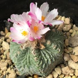 絶滅危惧種 アズテキウム属 花籠 💐追加で2個咲いた、前の2個も再び開く