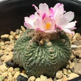 絶滅危惧種 アズテキウム属 花籠 🌵🛒 花籠の和名の由来