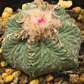 絶滅危惧種 アズテキウム属 花籠 しぼんだ花柄は早めにカット✂︎🌸💦