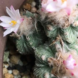 絶滅危惧種 アズテキウム属 花籠 👶💦小っちゃくても花が咲く