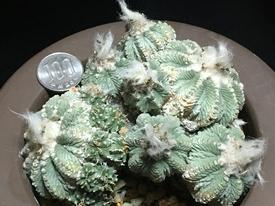 絶滅危惧種 アズテキウム属 花籠 吹き仔に刻まれた歴史 🏺