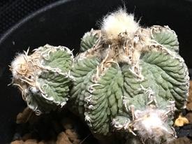 絶滅危惧種 アズテキウム属 花籠 長い付き合いのこの株は将来どうなるのか?
