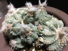 絶滅危惧種 アズテキウム属 花籠 🤔 やっぱ輸入株は風格があるなぁ 🌎