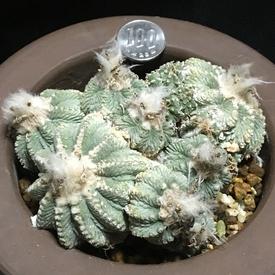 絶滅危惧種 アズテキウム属 花籠