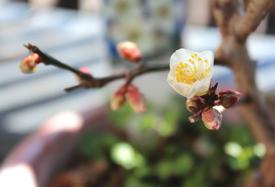 白梅(冬至)touji‐siraume 白梅 NO.2