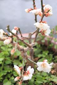 白梅(冬至)touji‐siraume あ!全開、全開!30花近く在ります^-^