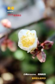 白梅(冬至)touji‐siraume