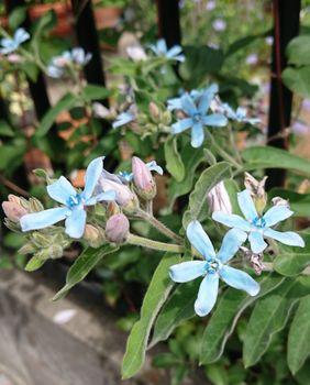 冬の種まき ブルースター編 2021年6月3日 種まきから3年