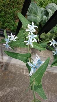 冬の種まき ブルースター編 8月24日 切り戻しては咲いて