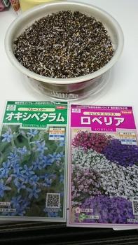 冬の種まき ブルースター編