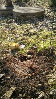 甘茶の成長記録(挿し木編) 外の甘茶を地植えしました(3月)