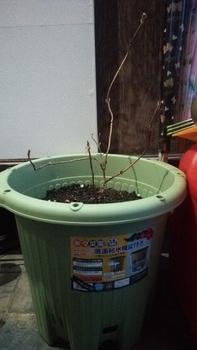 甘茶の成長記録(挿し木編) 鉢の植え替え(2月)