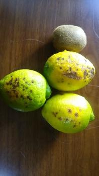 レモン育て!取りたてレモンを楽しむ。 こちらは潰瘍病のお顔!