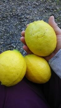 レモン育て!取りたてレモンを楽しむ。 2019.1.12BIGレモン
