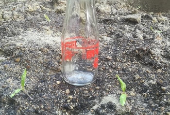 トマトの種から 3月14日