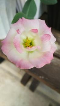 トルコギキョウ 30.9.2 咲きました