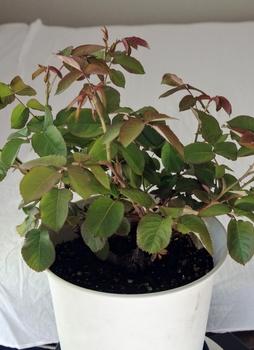 6年目の芳純の鉢植 蕾が付きました。