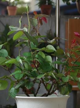 6年目の芳純の鉢植 蕾が膨らんできました