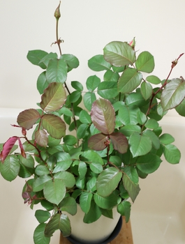 6年目の芳純の鉢植 蕾が無い枝