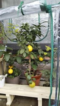 サイパンレモン。パート2 いよいよ収穫。(*^^*)🍋