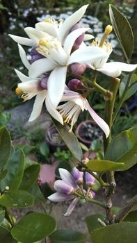 サイパンレモン。パート2 花がモリモリ咲いてます。🎵