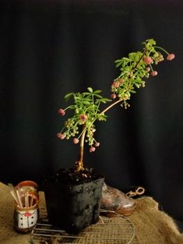 鉢(3号鉢)にアケビをならしたらプロだ! その内、開花した小鉢 一鉢です。