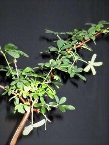 鉢(3号鉢)にアケビをならしたらプロだ! 実付きあけび小盆栽は、案外手間なのです。