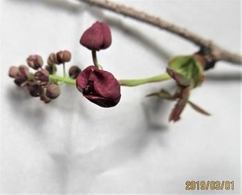 鉢(3号鉢)にアケビをならしたらプロだ! 花穂の写真です。