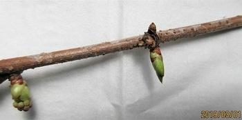 鉢(3号鉢)にアケビをならしたらプロだ! たまに、写真の様に芽のみの蕾があります。