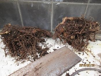 鉢(3号鉢)にアケビをならしたらプロだ! 普通は挿木か、株分けをおすすめする。