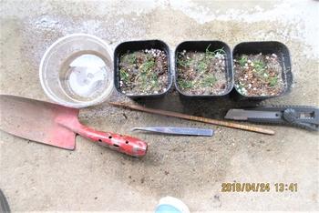 実生から四十数年の寄せ植え黒松盆栽 最後は、川砂で挿し芽を固定します。