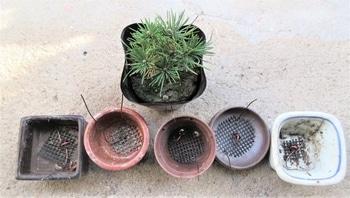 実生から四十数年の寄せ植え黒松盆栽 作業1 実生黒松苗2年生の定植