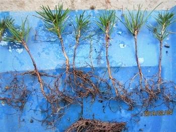 実生から四十数年の寄せ植え黒松盆栽 根切りとその絡みをていねいにほぐす。