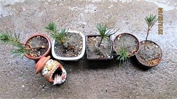 実生から四十数年の寄せ植え黒松盆栽 作業3 用土と根の固定
