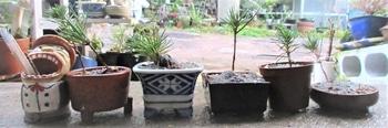 実生から四十数年の寄せ植え黒松盆栽 作業4 定植完成