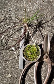実生から四十数年の寄せ植え黒松盆栽 一年生苗木にも【針金掛け】天才教育か?
