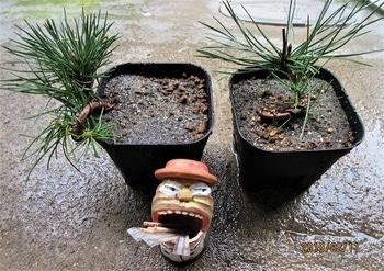 実生から四十数年の寄せ植え黒松盆栽 3年生苗も、十年経てば小盆栽にします。
