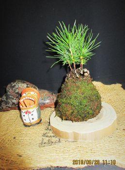 実生から四十数年の寄せ植え黒松盆栽 松毬飾りの課題